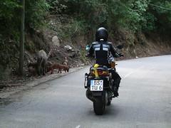 Die Schweine haben eine gute Verkehrserziehung