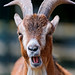 Goat with open mouth