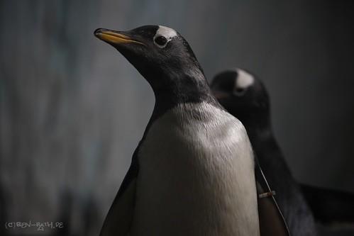 Eselspinguin / Gentoo Penguin by benrath311