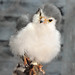 Small photo of African Pygmy Falcon (Polihierax semitorquatus)