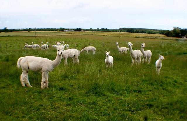 Alpaca, near Cawdor