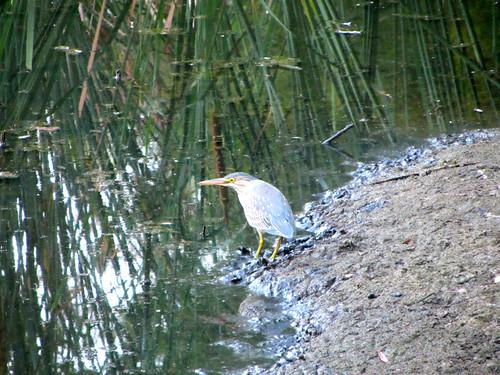 young night heron?
