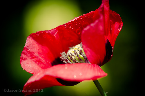 Red Poppy Kisses
