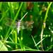 Stalking Dragonflies