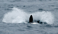 Young Killer Whale breaching (5 of 7)