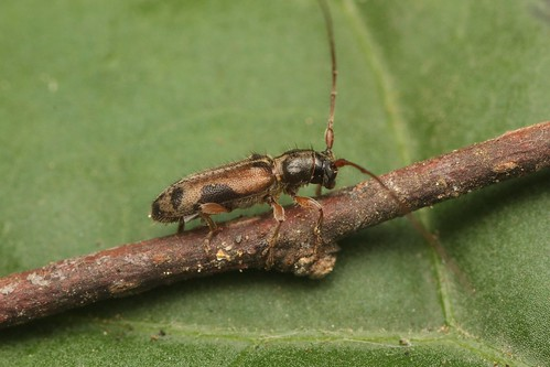 フタモンアラゲカミキリ