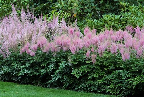 Butchart Gardens - Pink Wispy Stuff