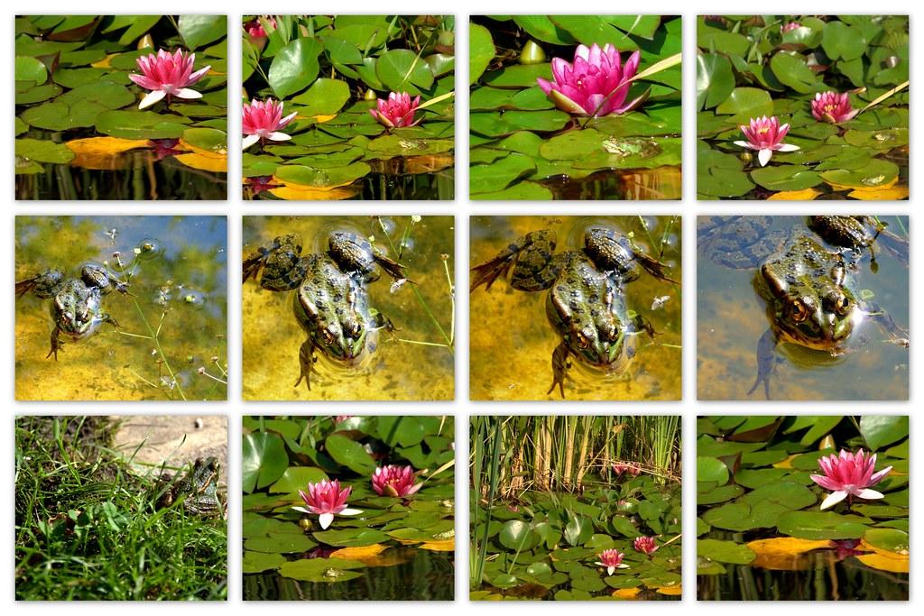 de ranas y nenúfares