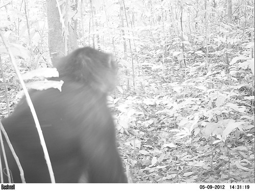 Bonobo with his back to camera