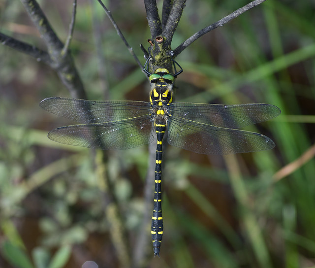 Golden-ringed Dragonfly Cordulegaster boltonii 2