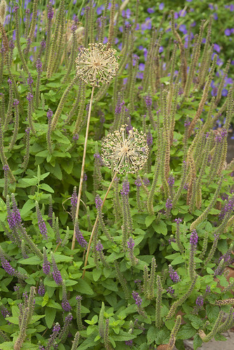 Teucrium Patch with Allium