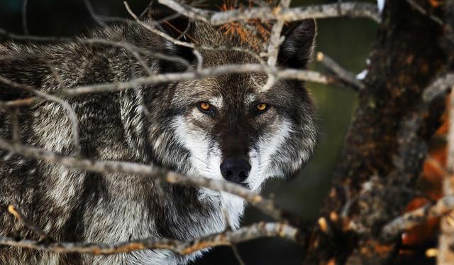 Lobo entre los árboles, Parque Nacional Yellowstone