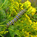 Monarch Caterpillar on Goldenrod