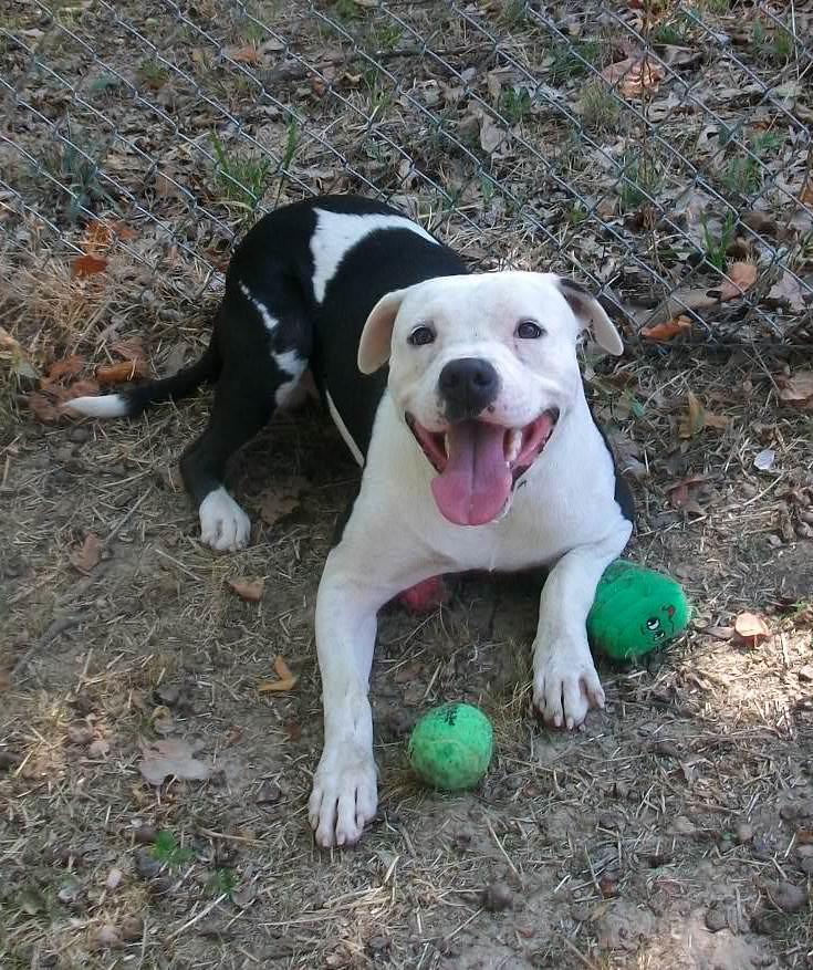 White And Black Pitbull Dog Black white pitbull dogBlack And White Pitbull Dogs