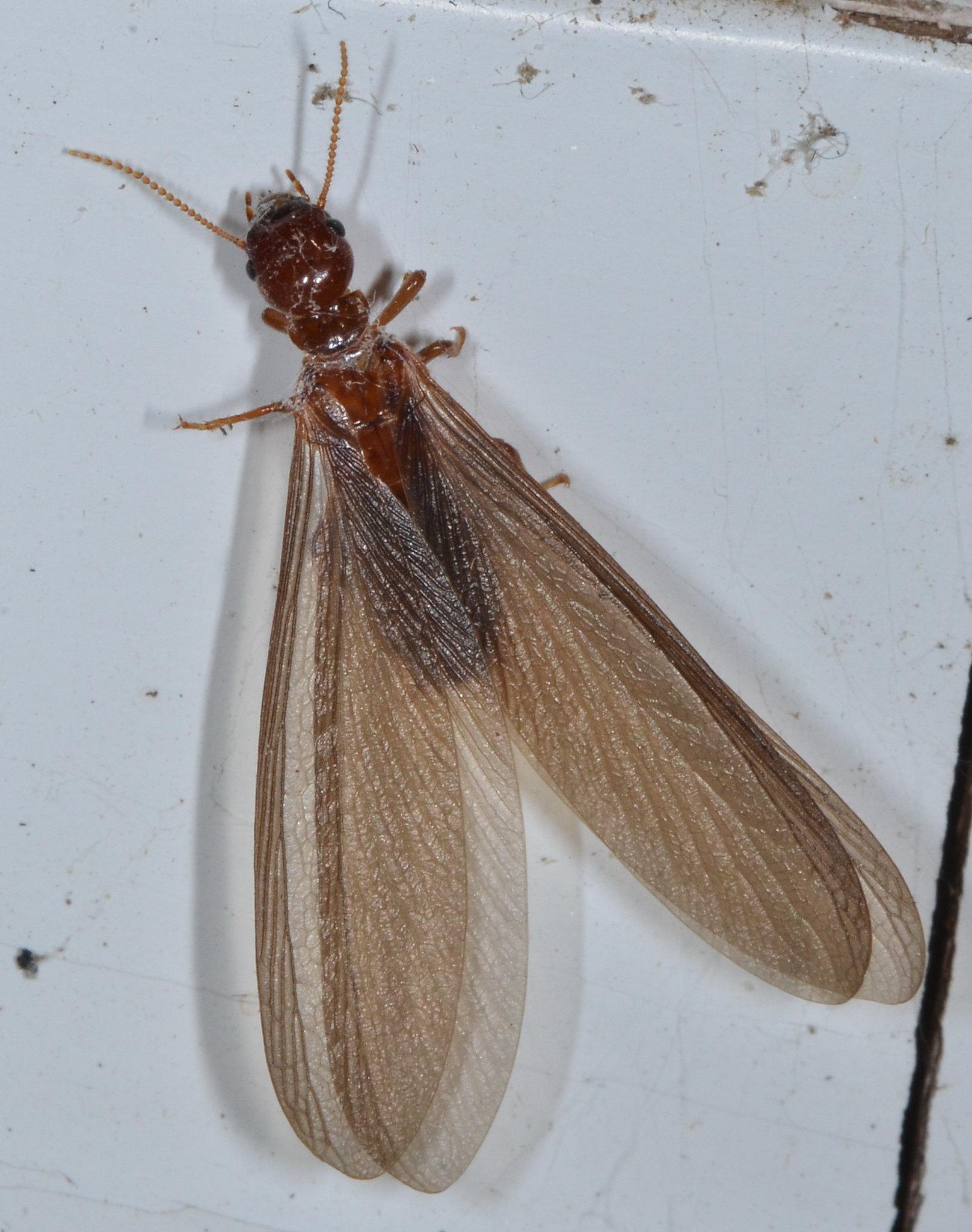 Termites In Wood Furniture