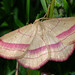 Geometer Moth (Tony Daniels)