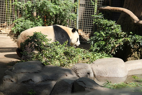 Panda walking around