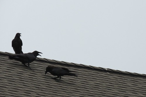 how to keep crows off your roof