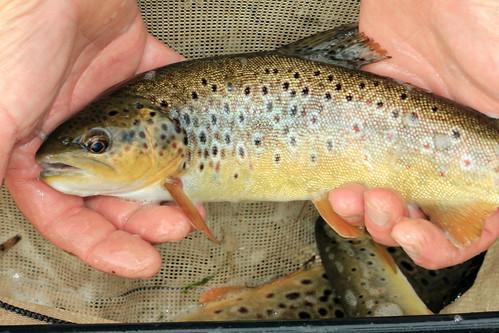 River Trout 10144