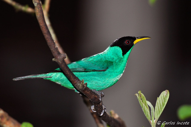 Saí Verde (Green Honeycreeper)
