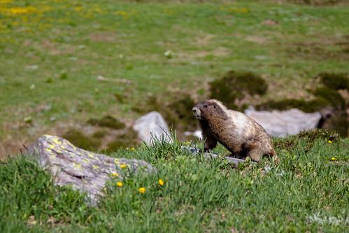 Marmot Master