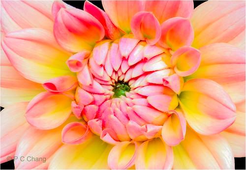 pink dahlia summer orange flower nature garden flora blossom natureza petal bloom firepot thegalaxy photosandcalendar excellentsflowers mimamorflowers panoramafotográfico pcchang flickrstruereflection1 rememberthatmomentlevel1 rememberthatmomentlevel2 bewiahn