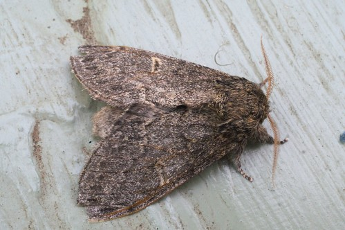 Large Dark Prominent (Notodonta torva)