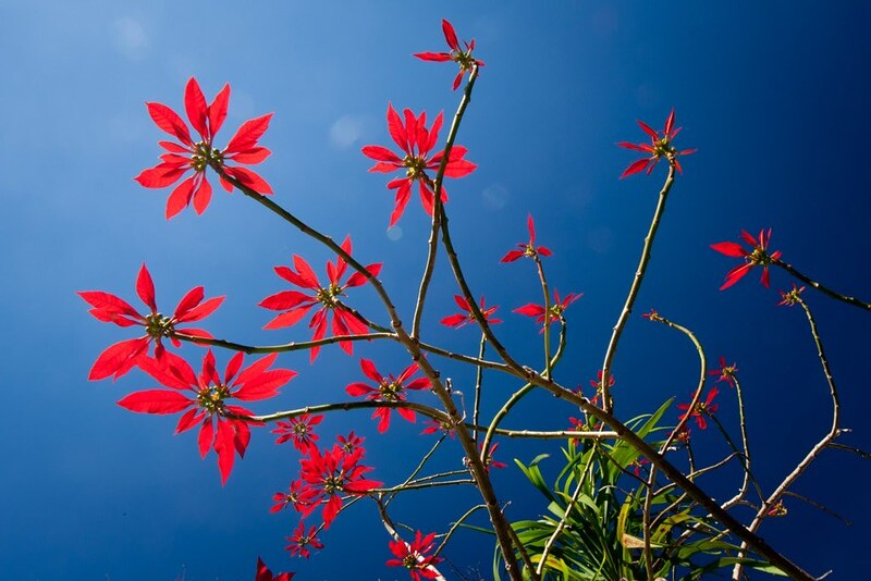 Christmas Plant, Madeira