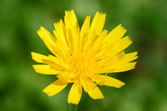 annual plant, dandelion, flower, yellow, flatweed, macro photography, herb, wildflower, flora, close-up, petal,