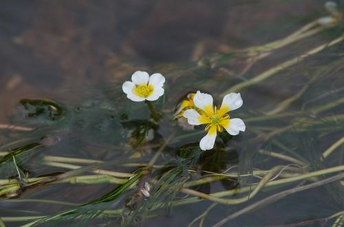 water crowfoot