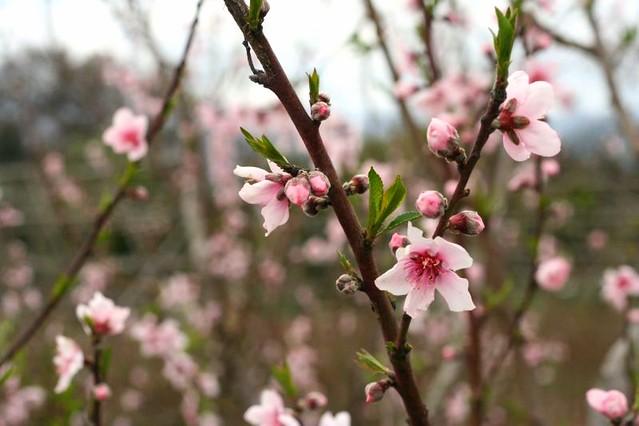pink blosoms