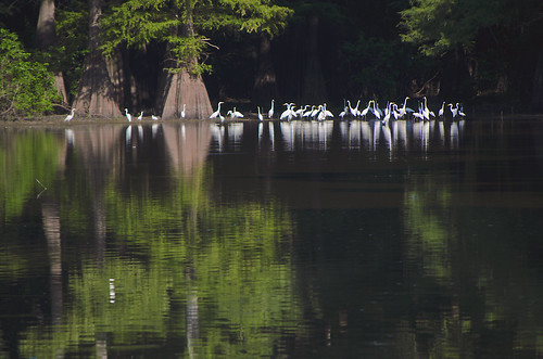 Great Egret Beneath Cypress Trees in the White River Wildlife Refuge