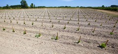New vines - 3 years to wait - Photo of Saugon