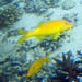 goldsaddle goatfish Parupeneus cyclostomus