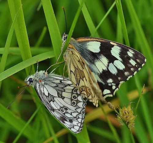Marbled White Butterfly Melanargia galathea Sandwich Bay by Kinzler Pegwell