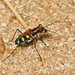 IMG_2958 tiger beetle