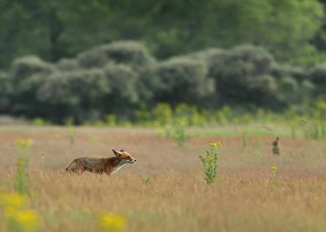 Juvenile red fox - sniffing out prey -
