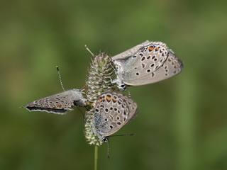 Butterfly Orgy IV