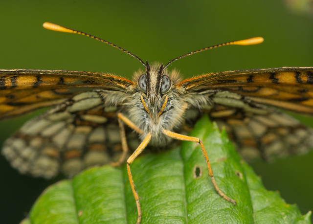 heath fritillary butterfly close up