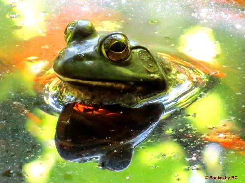 Bull Frog.