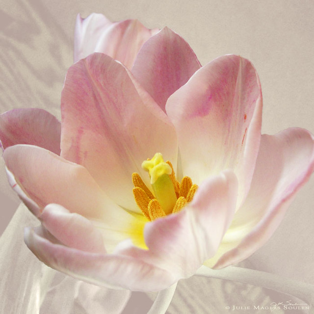 A blushing pink spring tulip catches the soft morning light of dawn.