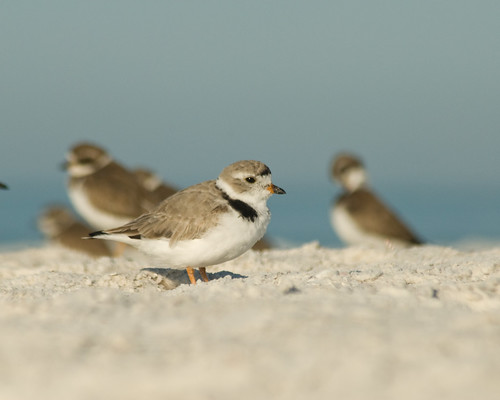 Piping Plover-Breeding