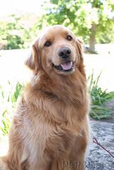 dog breed, animal, dog, hovawart, pet, nova scotia duck tolling retriever, golden retriever, carnivoran,