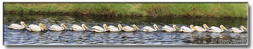 pelicans nature wildlife marincounty sanfranciscobay cortemaderamarsh rogerjohnson