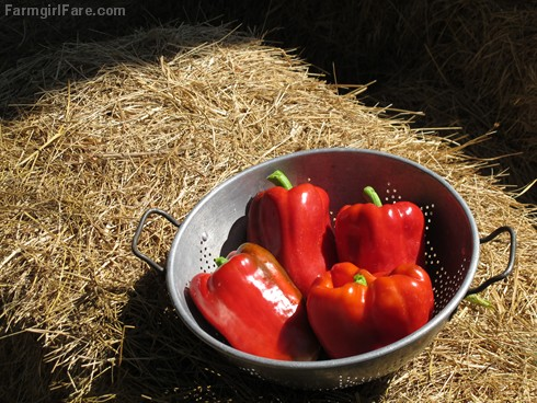 (19-15) King Arthur sweet red peppers from the kitchen garden - FarmgirlFare.com