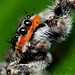 Jumping Spider Platycryptus Undatus (Explored)
