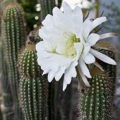 flower, moonlight cactus, flora, echinopsis pachanoi, selenicereus grandiflorus, close-up, caryophyllales,