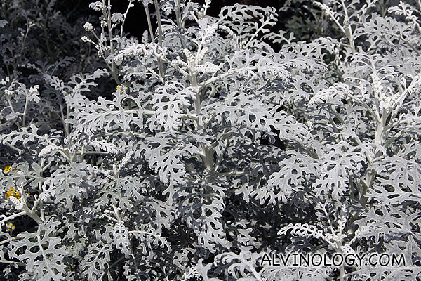 Grey coloured plant