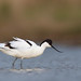 Avocet feeding on the North Norfolk Coast