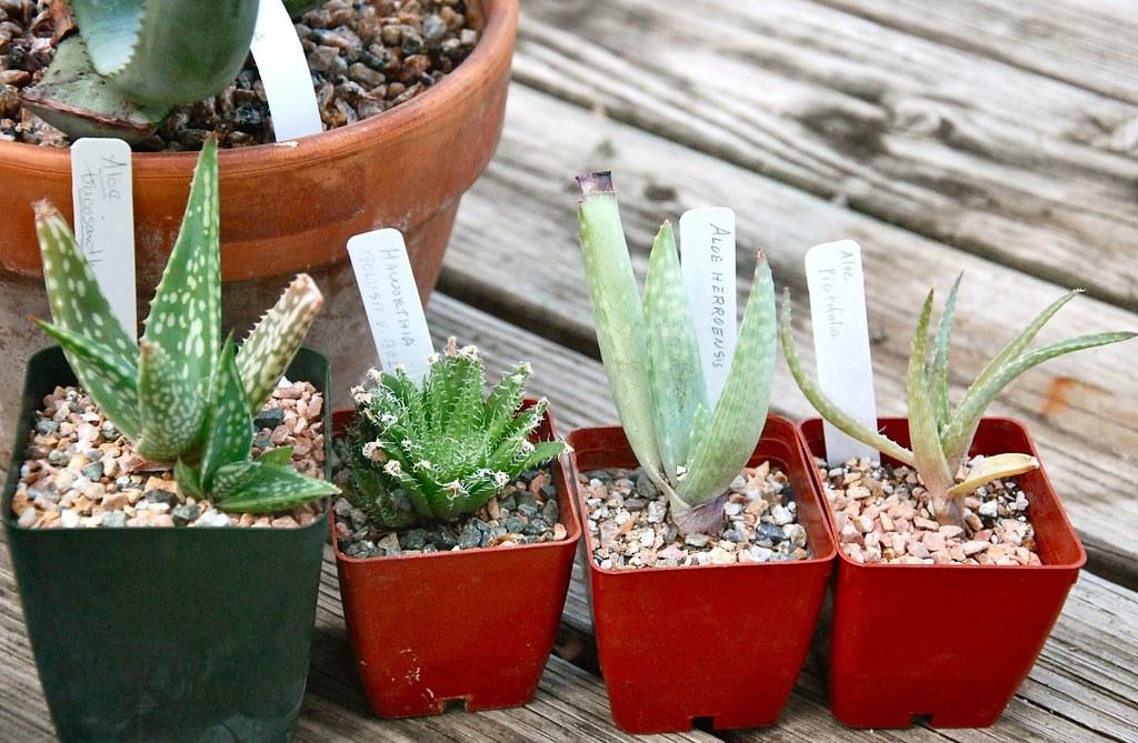 Aloe trichosantha, Haworthia bolusii v. bolusii, A. hereroensis, A. pictifolia
